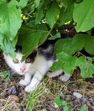 Cat. Beautiful Little cat hidden under the Green leaves Royalty Free Stock Photo