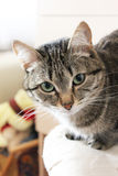 Cat. Beautiful cat looks into the eyes Royalty Free Stock Photo