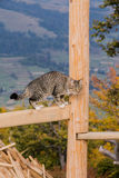 Cat. Beautiful cat in the mountains  Carpathians . Grey and black colors of wool Royalty Free Stock Photography