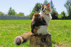 Cat. Beautiful Tricolor cat looking back Royalty Free Stock Photos