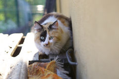 Cat. Beautiful Tricolor cat looking at the small bird Royalty Free Stock Photo