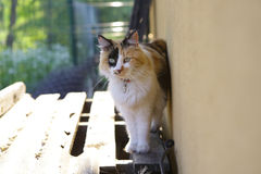 Cat. Beautiful Tricolor cat outside looking at the bird Royalty Free Stock Photos