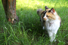 Cat. Beautiful Tricolor cat outside looking at the bird Stock Photo
