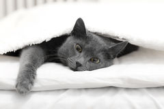 Cat in a bed royalty free stock image