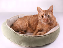 Cat in Bed Royalty Free Stock Image