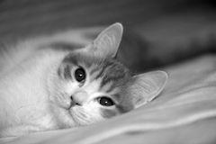 Cat in bed. Big eyes,black and white Stock Image