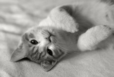 Cat in bed. Big eyes,black and white Stock Photos