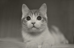 Cat in bed. Big eyes,black and white Royalty Free Stock Images
