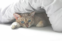 Cat in bed. Cute white cat with big blue eyes lying in the bed Royalty Free Stock Image