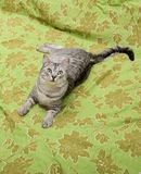 Cat on bed looking up, playing cat, domestic young cat in green background with space for advertising and text Stock Images