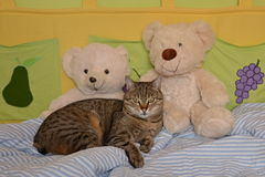 Cat in the bed. Cat lying in the bed with two bears Stock Photo