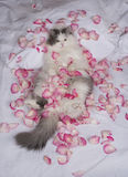 Cat bed of rose petals Stock Images