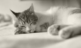 Cat in bed sleeping. Black and white Royalty Free Stock Image