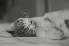 Cat in bed. Sleeping,black and white Royalty Free Stock Photos