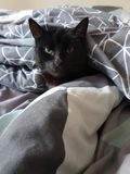 Cat in the bed. Cat snuggled up in covers on a cold day Stock Image