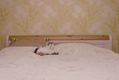 Cat and Bed Royalty Free Stock Images