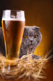 Cat and beer Stock Photography