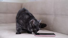 The cat behaves restlessly next to smartphone stock video footage