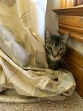 Cat Behind Curtain -- Cute cat playing behind a curtain Stock Images