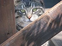 Cat behind a fence. This is my cat named save behind a wooden fence when he was a year or so old Stock Images