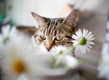 Cat behind Flowers Royalty Free Stock Image