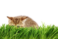 Cat behind grass Stock Photos