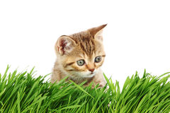 Cat behind grass Royalty Free Stock Photography