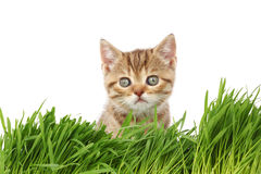 Cat behind grass Royalty Free Stock Images
