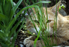 Cat behind grass. Close up of an adult cat lying behind plants Royalty Free Stock Photography