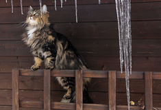 A Cat behind large icicles Royalty Free Stock Images