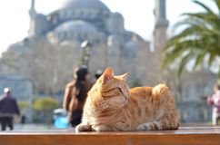 Cat behind of Sultanahmet royalty free stock images