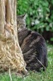 Cat behind tree. Gatto, albero, prato Stock Photography