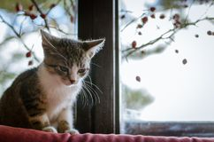 Cat behind window lurking. Little cat waiting behind window Stock Images