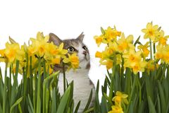 Cat behind yellow flowers. Cat with yellow flowers, isolated on a white background Royalty Free Stock Photography
