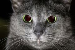 Cat being angry. Portrait of a russian blue cat being angry stock photography