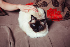 Cat being petted on sofa Royalty Free Stock Photos