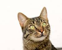 Cat being very attentive Stock Images