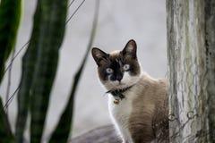 Cat With Bell Collar siamesa Fotos de archivo libres de regalías