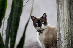 Cat With Bell Collar siamoise Photos libres de droits