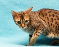 Cat Bengal photo stock