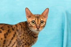 Cat Bengal images stock