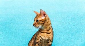 Cat Bengal photo libre de droits