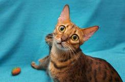 Cat Bengal image libre de droits