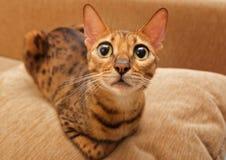 Cat Bengal images libres de droits