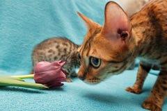 Cat Bengal photographie stock libre de droits