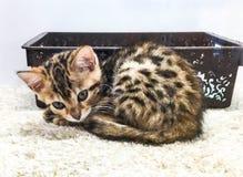 Cat Bengal Fotos de Stock