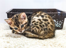 Cat Bengal Arkivfoton