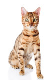 Cat Bengal breed. Isolated Royalty Free Stock Photos