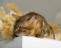 Bengali cat stock photos
