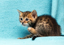Cat Bengal Kitten images stock